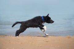 在海滩的可爱的逗人喜爱的博德牧羊犬小狗 图库摄影