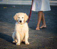 在海滩的可爱的黄色实验室小狗 免版税库存图片