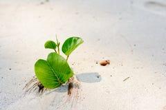 在海滩的叶子番薯属 库存图片