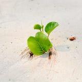 在海滩的叶子番薯属 免版税库存图片