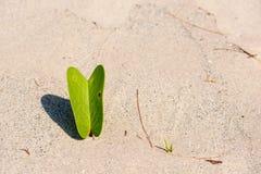 在海滩的叶子番薯属 免版税图库摄影