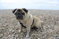 在海滩的哈巴狗 免版税库存图片