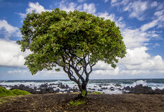 在海滩的唯一树在Ke ` anae半岛 库存照片