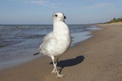 在海滩的圆环开帐单的鸥 免版税库存图片