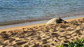在海滩的夏威夷绿浪乌龟在夏威夷 库存照片