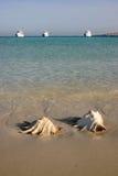 在海滩的大巧克力精炼机贝壳 免版税库存照片