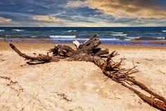 在海滩的大树枝 免版税库存图片