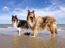 在海滩的大牧羊犬狗 免版税库存照片