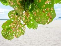 在海滩的大绿色叶子 免版税库存照片