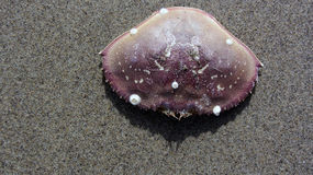 在海滩的太平洋大蟹壳 免版税库存图片