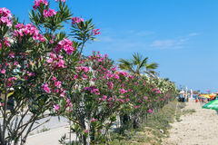 在海滩的夹竹桃 免版税库存照片