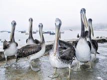 在海滩的好奇鹈鹕在冬天 免版税库存图片