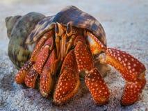 在海滩的寄居蟹在夏威夷 图库摄影