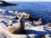 在海滩的封印在拉霍亚,圣地亚哥加利福尼亚美国 免版税库存照片