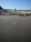 在海滩的小奇瓦瓦狗 图库摄影
