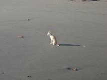 在海滩的小犬座 库存图片