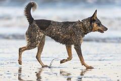 在海滩的小狗 免版税库存照片
