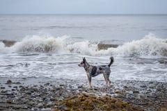 在海滩的小狗 库存图片
