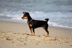 在海滩的小黑微型短毛猎犬 库存图片