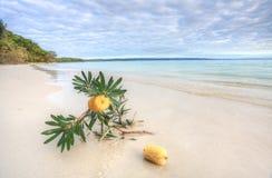 在海滩的山龙眼Serrata 图库摄影