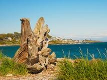 在海滩的巨大的漂流木头树桩在维多利亚, BC,加拿大 免版税库存照片