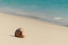 在海滩的干椰子种子 免版税库存照片