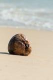 在海滩的干椰子种子 库存图片