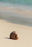 在海滩的干椰子种子 免版税库存图片