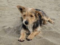在海滩的幼小狗,圣Priamo,撒丁岛,意大利 图库摄影