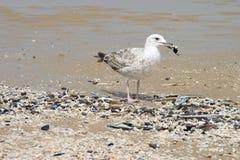 在海滩的幼小鸥 图库摄影