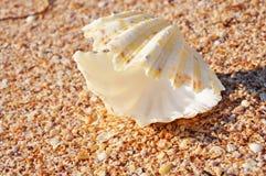 在海滩的异乎寻常的壳 免版税库存照片