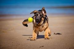 在海滩的德国牧羊犬小狗 图库摄影