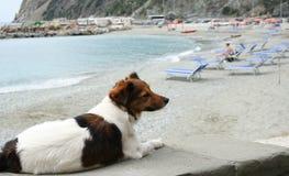 在海滩的愉快的棕色和白色狗 免版税图库摄影