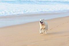 在海滩的愉快的狗 免版税库存图片