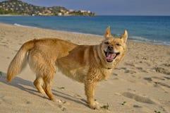 在海滩的愉快的狗 库存照片