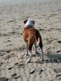 在海滩的拳击手狗 免版税库存图片
