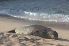 在海滩的斑海豹 库存照片