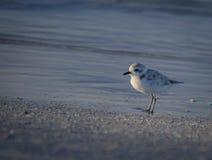 在海滩的斯诺伊珩科鸟在佛罗里达,美国 库存图片