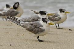 在海滩的有顶饰燕鸥 免版税图库摄影