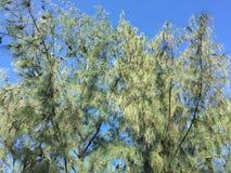 在海滩的木麻黄科树在越南南方 库存照片