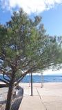 在海滩的杉木 免版税库存图片