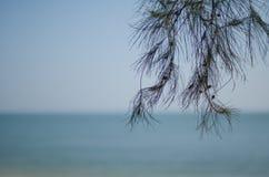 在海滩的杉树 图库摄影