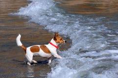 在海滩的杰克Russsel狗 图库摄影