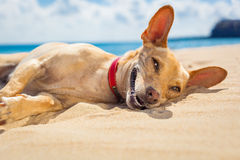 在海滩的松弛狗 免版税库存图片