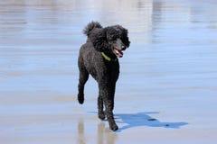 在海滩的标准长卷毛狗 免版税库存照片
