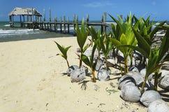 在海滩的椰子幼木 免版税图库摄影