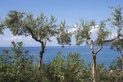 在海滩的橄榄树 免版税库存图片