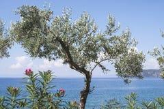 在海滩的橄榄树 库存图片