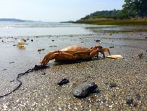 在海滩的橙色螃蟹 免版税库存照片