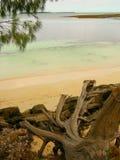 在海滩的残破的树 免版税图库摄影